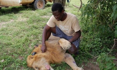 Tutilo Mudumba puts a collar on a male lion which has been darted
