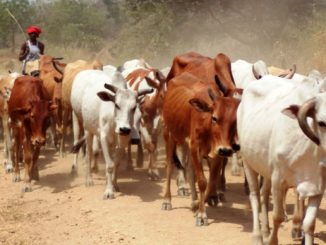 Nebbi residents lose 580 cows to thieves