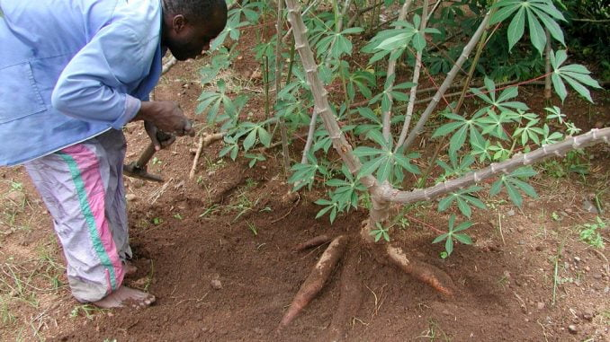 Cassava coalition calls for transformation of cassava in Africa