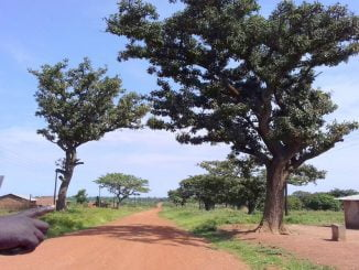 Ugandan govt 'bans' harvesting, trade of endangered shea nut trees