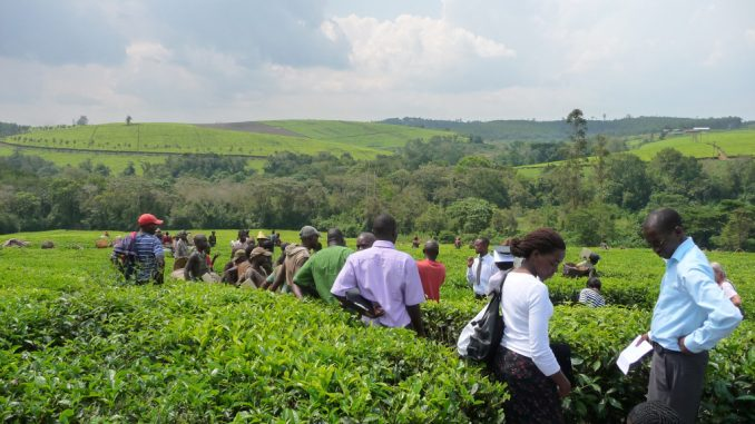 Tea farmers in Tooro stuck with produce