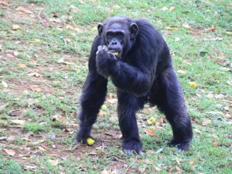 Uganda's oldest chimp Zakayo's remains to be preserved