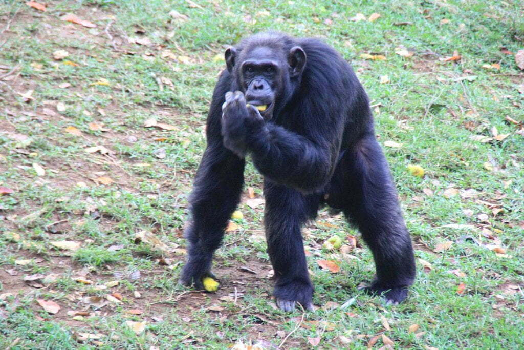 Uganda's oldest chimp Zakayo is dead