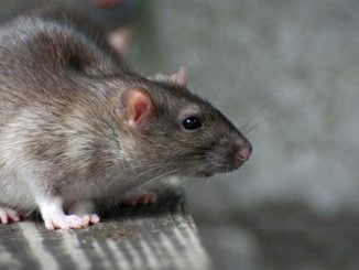 Rats destroy money: Businessman demands compensation from UWA