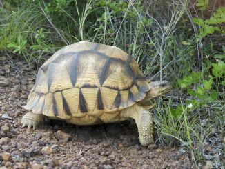 Two Ugandans and Nigerian in trouble over tortoise trade