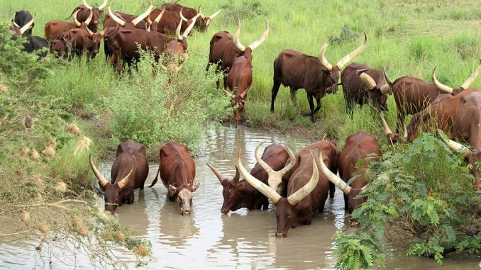 Long-horned Ankole cow to be patented