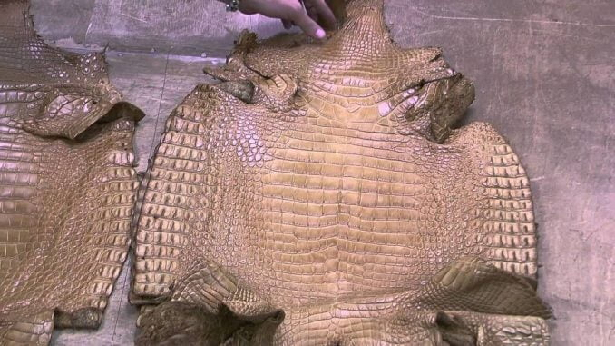 Journalist in trouble over crocodile skin