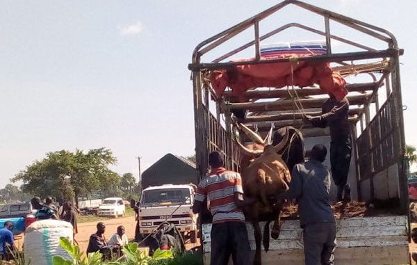 Five people arrested for smuggling Tanzanian cattle into Uganda