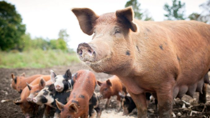 Ugandan researcher embarks on study to establish use of ARVs to feed pigs