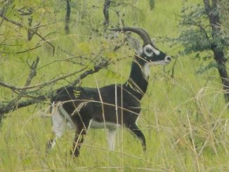 White-eared Kob sighted on Ugandan soil after two decades