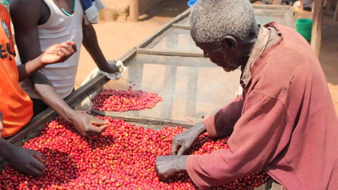 Uganda's coffee, maize, beans exports fall