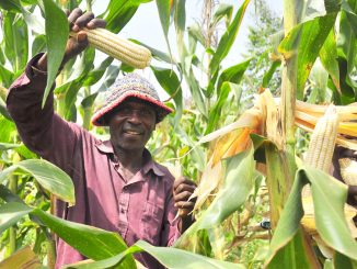 Uganda's maize, sim sim export earnings increase