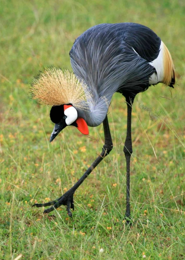 Three arrested over keeping Crested Cranes