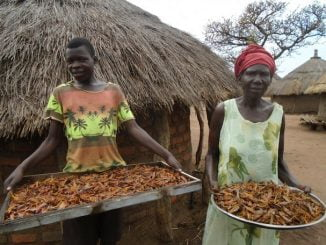 Kitgum residents in northern Uganda find food source in invading desert locusts