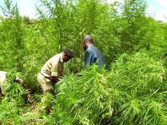 Six arrested for growing marijuana in Queen Elizabeth National Park